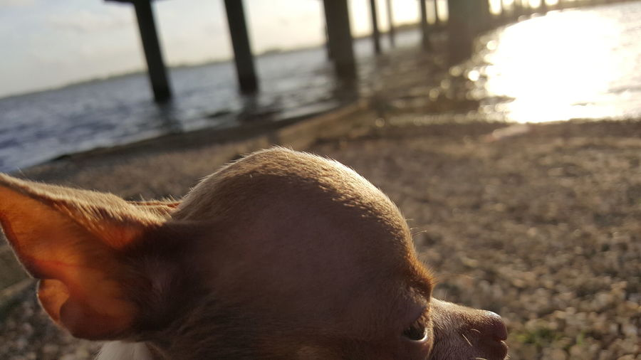 Applehead Chihuahua Pets EyeEm Selects Water Sand Beach Close-up