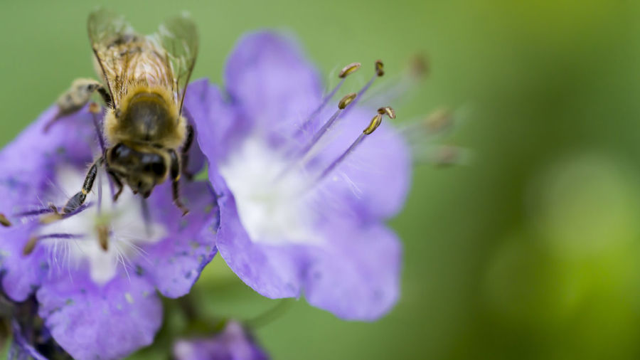 The focus of this shot is not the Bee but the stamen. Beauty In Nature Bee Blooming Blossom Botany Bumblebee Close-up Flower Flower Head Growth In Bloom Insect Macro Macro_flower Nature Outdoors Petal Phacelia Plant Pollen Pollination Purple Selective Focus The Great Outdoors - 2016 EyeEm Awards Nature's Diversities