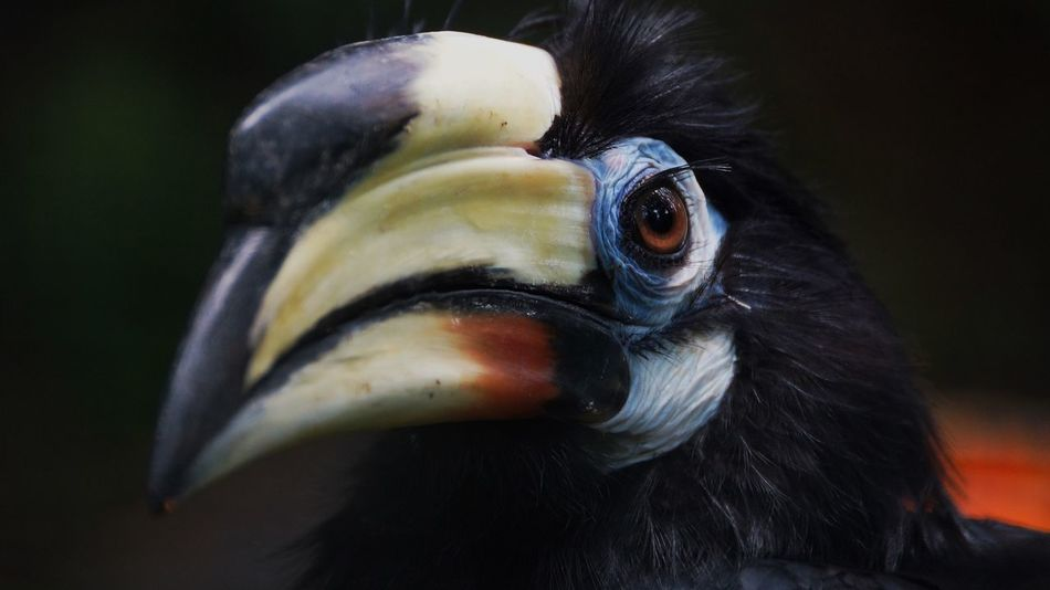 Bird Beak Animal Themes Hornbill One Animal Close-up Focus On Foreground Animal Head  Animals In The Wild Looking At Camera Portrait No People Outdoors Day Oriental Pied-Hornbill Oriental Pied Hornbill Fresh On Market 2017