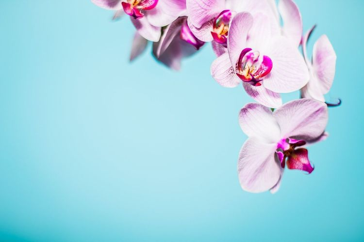 Close-Up Of Pink Orchids Against Clear Blue Sky