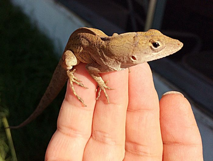 Whatcha looking at? 10382150 Gecko in my hand Baby Gecko Pet Portraits Geckos