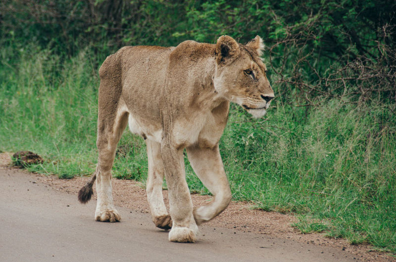 Animal Themes Animal Wildlife Animals In The Wild Day Full Length Lion - Feline Lioness Mammal Nature No People One Animal Outdoors Standing