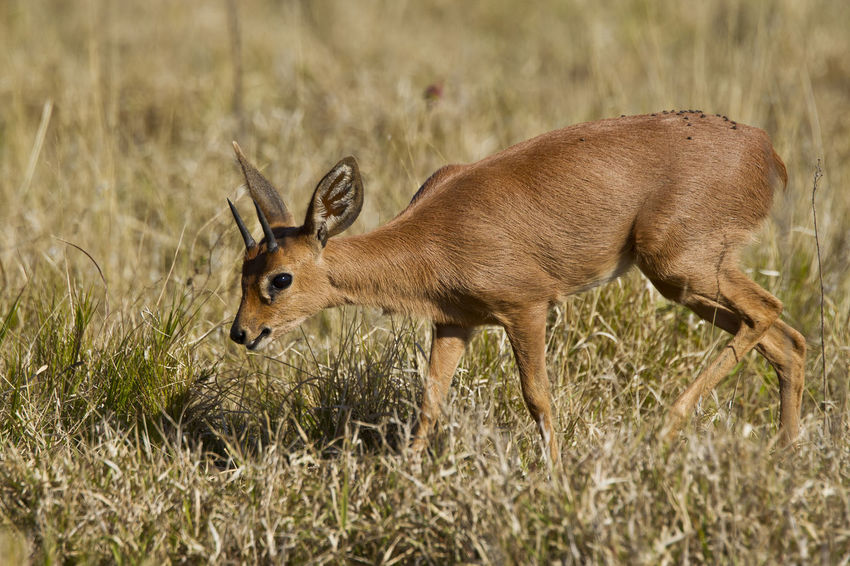 Young duiker antelope walking through short dry grass in the morning sun Animal Themes Animal Wildlife Animals In The Wild Antelope Antler Beauty In Nature Day Deer Full Length Grass Mammal Nature No People One Animal Outdoors Side View Stag