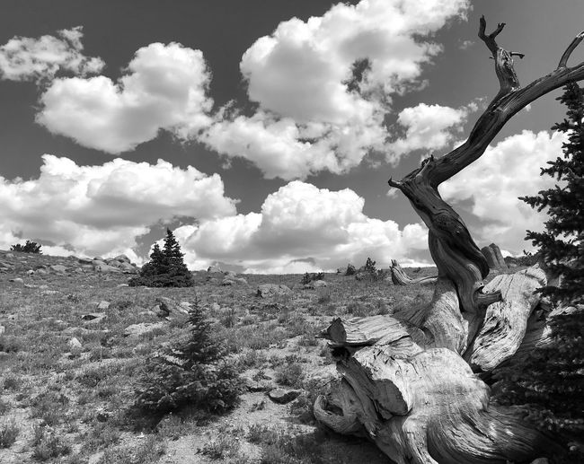 Low angle black and white landscape of bristlecone tree trunk and clouds on Mount Evans Black And White Bristlecone Pine High Elevation Mount Evans Colorado Colorado Mountians Cloud - Sky Sky Nature Plant Day Tree No People Land Outdoors Growth Tranquility Sunlight Branch Field Scenics - Nature Tranquil Scene Beauty In Nature Low Angle View
