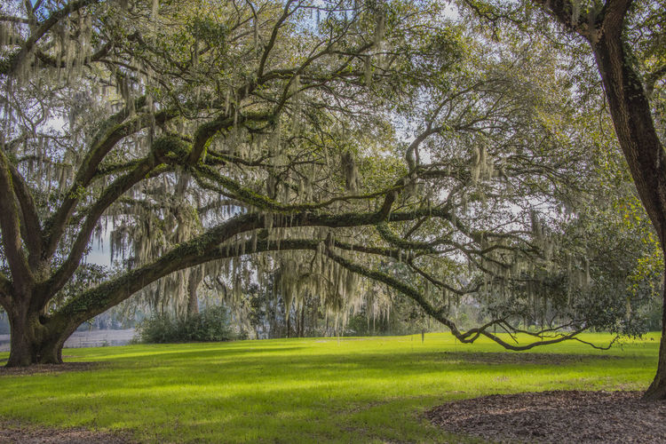 Beauty In Nature Brays Island Day Grass Green Color Growth Landscape Lawn Live Oak Lush - Description Nature No People Outdoors Tranquility Tree