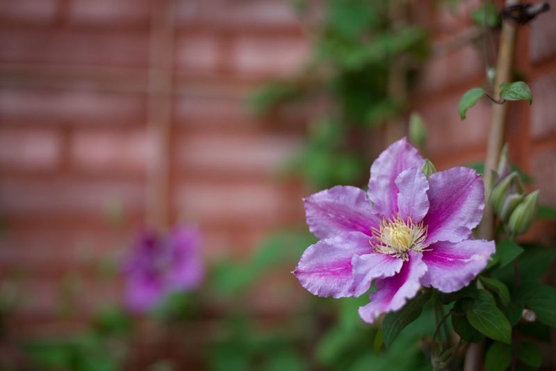 Flower Nature Beauty In Nature No People Focus On Foreground Plant Clematis City Garden TopDeck