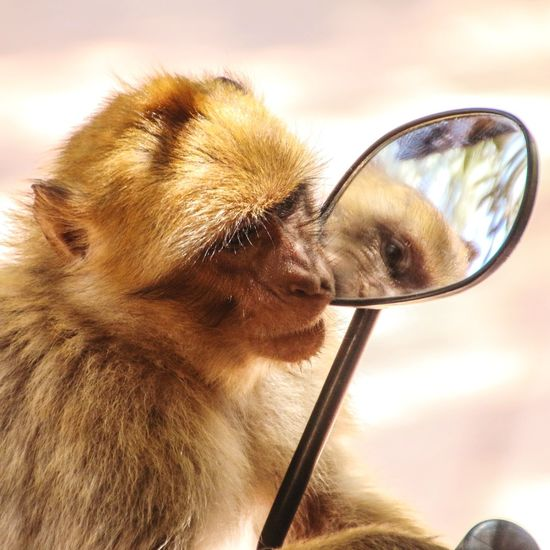 Monkey Monkeys Morocco Animal Themes Animals In The Wild Animal Wildlife Animal Mirror Mirrorless Mirror Reflection Mirrorselfie Looking At The Mirror Aussenspiegel Tier Tierfotografie Spiegel Spiegelbild Mirrorpicture Marocco One Animal Animal Themes Close-up Mammal Day Outdoors Nature Domestic Animals Eyesight No People Eyeball An Eye For Travel The Street Photographer - 2018 EyeEm Awards