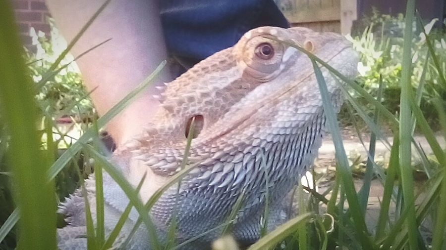 One Animal Animal Themes Nature Plant No People Outdoors Day First Eyeem Photo Lizards In The Sun Domestic Animals Bearded Dragon Reptile Photography Pets