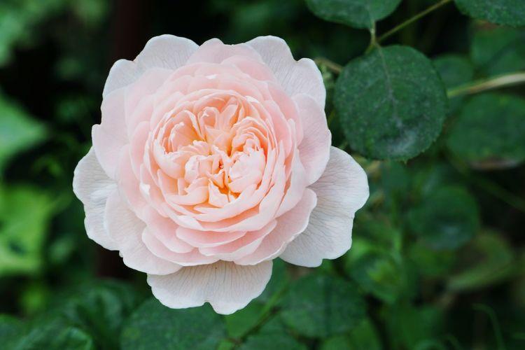 A pink rose in bloom Rose🌹 Flower Head Flower Peony  Pink Color Petal Rose - Flower Leaf Close-up Plant Pale Pink Wild Rose In Bloom Botanical Garden Blossom Flowering Plant Plant Life