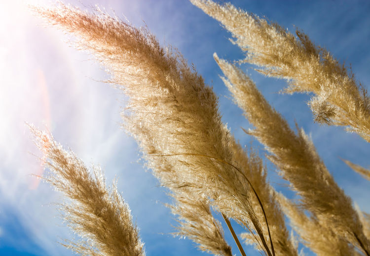 Pampas Grass - Cortaderia selloana Pumila Agriculture Cortaderia Selloana Or Pampas Grass, Invasive Plant Grass Beauty In Nature Blue Botany Cereal Plant Close-up Day Feather  Flora Freshness Garden Grass Growth Low Angle View Nature No People Outdoors Plant Sky Wheat Shades Of Winter