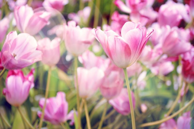 Pink tulip beautiful flower with sunlight. Tulip Flower Pink Flower Petal Botany Botanical Garden Nature Beautiful Flowers Light Freshness Spring Flowers Spring Ornamental Garden Field Of Flowers Meadow Flowers Romance Colorful Pink Flower 🌸 Shine Blooming Blossom Fragility Plants And Flowers Nature Flower Head Flower Pink Color Petal Close-up Plant