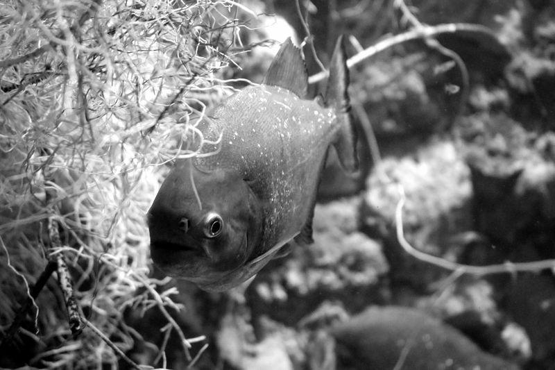 Aquarium Aquarium Life Black & White Black And White Blackandwhite Blackandwhite Photography Bnw Close-up Eye4photography  EyeEm Best Shots EyeEmBestPics Fish Fish Photography Fishes Minimalism Minimalist Minimalobsession Pirana
