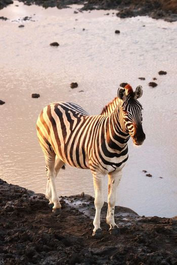 High angle view of zebra standing on rock by lake