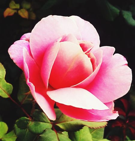 Colour Of Life Flower Blooming Opening Rosé Pink Beauty In Nature Beautiful Nature