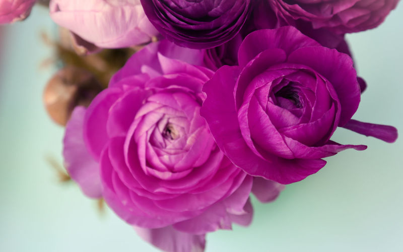 Flower Flowering Plant Beauty In Nature Freshness Plant Close-up Petal Pink Color Vulnerability  Inflorescence Fragility Flower Head Nature Indoors  Purple No People Focus On Foreground Flower Arrangement Bouquet Blüte Ranunculus Nature_collection Nature EyeEm Best Shots EyeEm Nature Lover