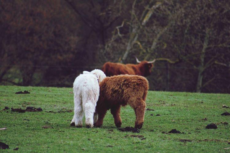 Highland calfs grazing in a field