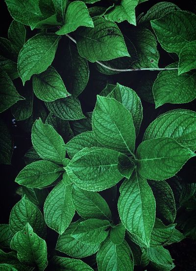 the beautiful green plant leaves in the garden in the nature Leaves Leaf Green Plant Nature Freshness Fresh Beauty In Nature Beauty Beautiful Fragile Fragility Romantic Garden Outdoors Backgrounds Wallpaper Park Mountain Color Colorful Green Color Plant Part