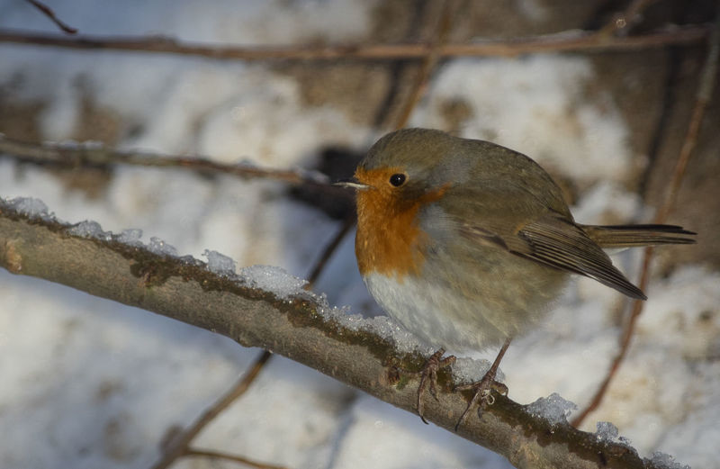 cold Bird Close Up Freezing Robin One Animal Redbreast Redbrest Robin Robin Hood Robin In Winter Robin On Tree Robin Redbreast Robins Winter Robin Zoology