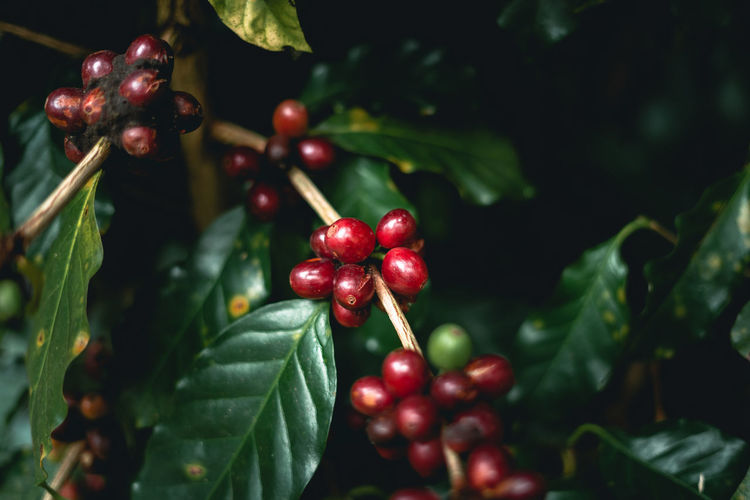 Close-up of coffee beans growing on plant