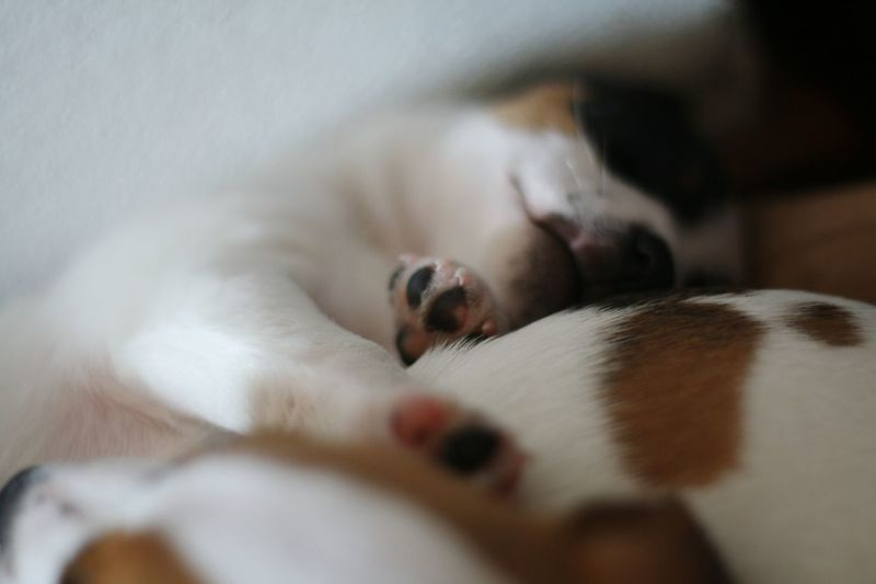 Pets Domestic Animals Lying Down No People Close-up Day Indoors  Mammal Dog Relaxation Animal Themes Puppies Puppy Love Jackrussell Patchy Cute