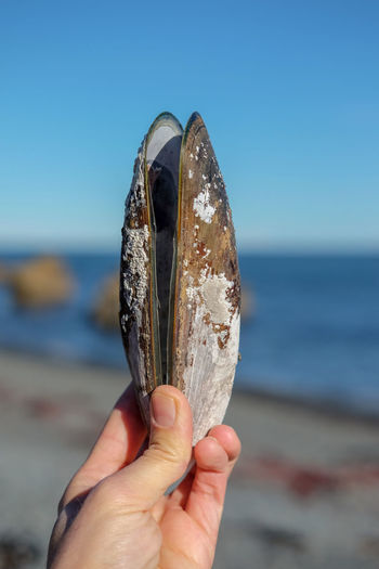 Green lipped mussel shell at the beach at eastbourne, wellington, new zealand.