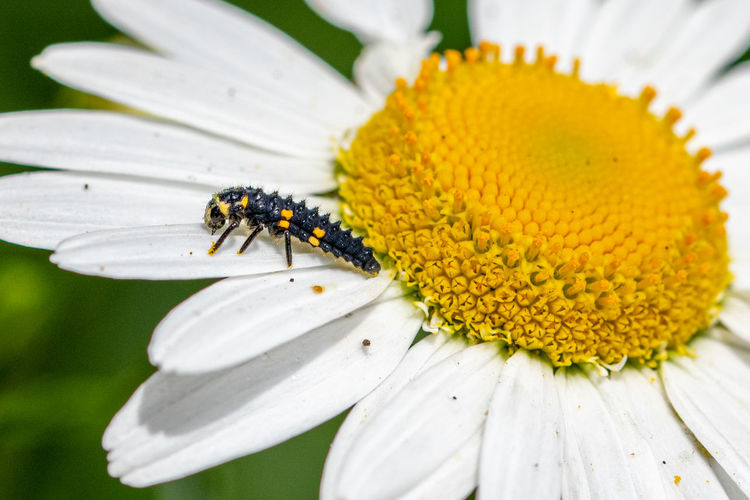 7 spotted ladybird, coccinella septempunctata, larva covered in pollen from a large daisy flower