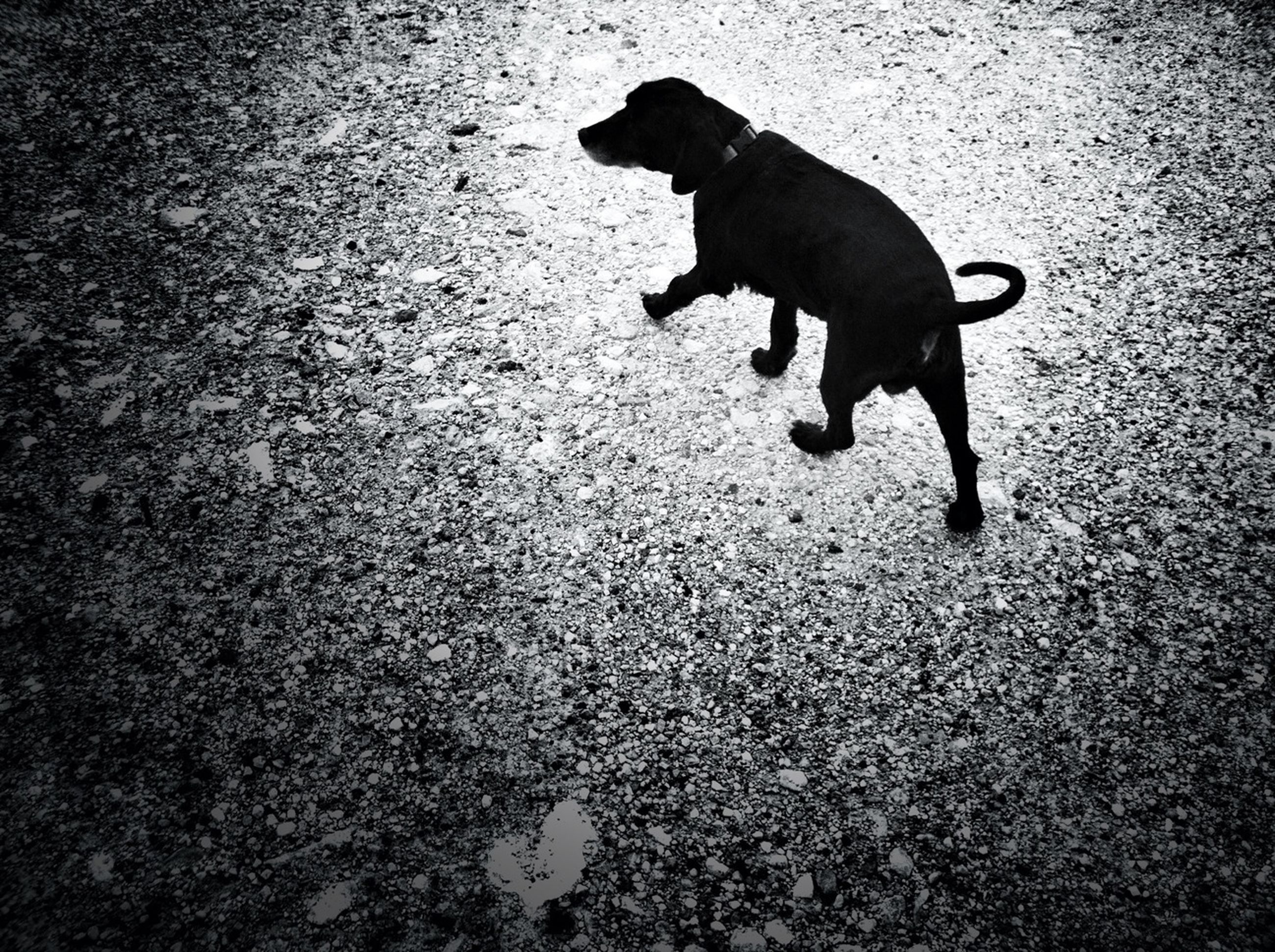 pets, domestic animals, animal themes, one animal, dog, mammal, high angle view, street, shadow, full length, black color, sunlight, no people, walking, pet leash, domestic cat, zoology, day, pet collar, canine