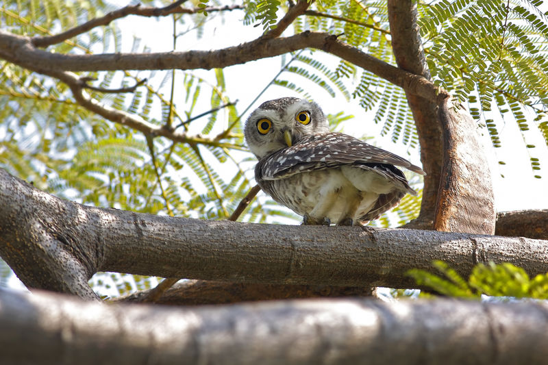 Spotted owlet Athene brama Birds of Thailand Animal Themes Vertebrate Animal Tree Bird Animals In The Wild Animal Wildlife Plant One Animal Branch Perching Day Low Angle View Nature No People Bird Of Prey Outdoors Selective Focus Wood - Material Zoology Spotted Owlet Owl