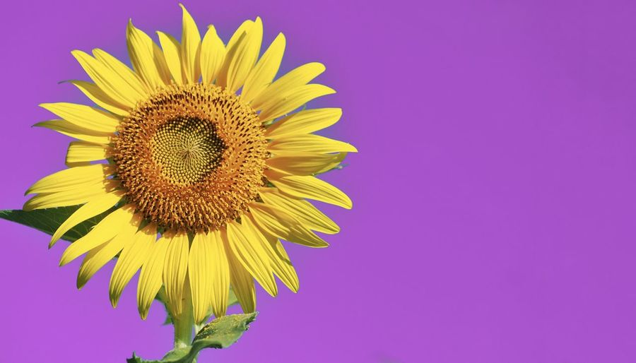 Close-up of sunflower against pink background