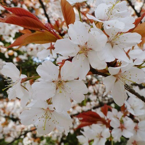 桜🌸 Cherry Blossom Flowers Flower Porn Flower Collection Flower Photography Spring Flowers Spring Is Coming  Taking Photos Hi!