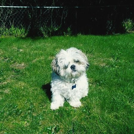 Shih Tzu Shih Tzu Love My Fur Baby Cutest Ever! Shihtzuoftheday Sunnyday☀️ Shih Tzu Gizmo