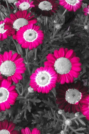 Colorkey Eyeem Colorkey Flower#garden#nature#ecuador#santodomingoecuador#eyeEmfollowers#iphoneonly#nofiltrer#macro_garden#pretty#beautiful#followme#sho EyeEm Nature Lover