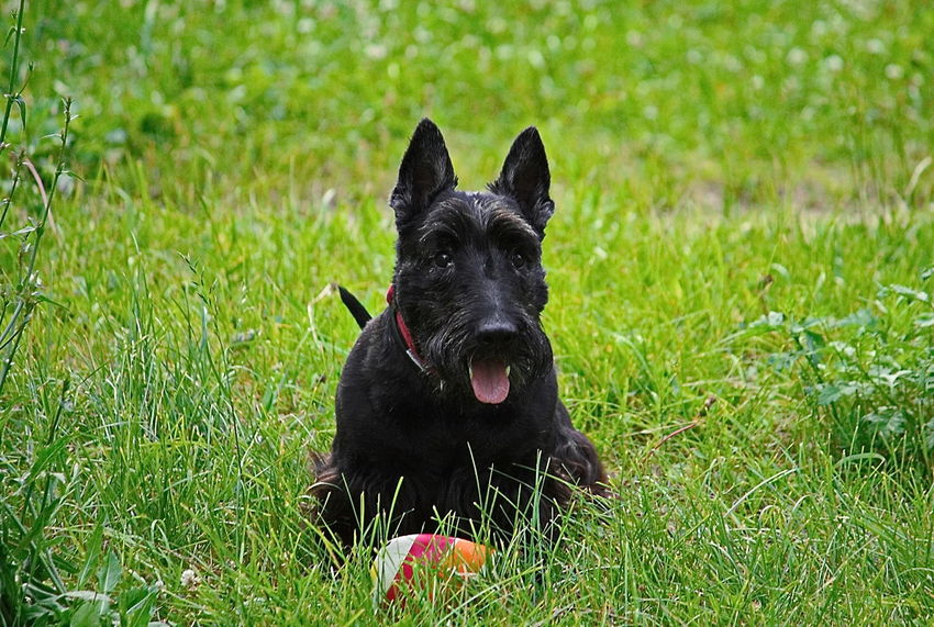 Animal Themes Black Color Day Dog Domestic Animals Grass Green Color Mammal Nature No People One Animal Outdoors Pets