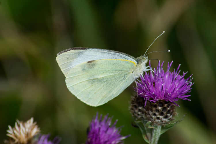 Large white butterfly Large White Animal Animal Wildlife Animal Wing Animals In The Wild Beauty In Nature Butterfly Butterfly - Insect Close-up Flower Flower Head Flowering Plant Focus On Foreground Fragility Growth Insect Invertebrate No People One Animal Outdoors Petal Plant Pollination Purple Vulnerability
