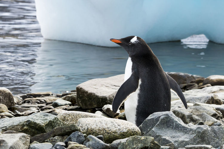 Close-up of penguin on rock at sea shore