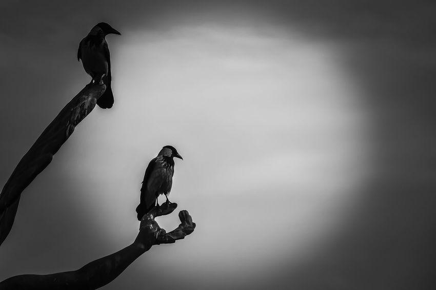 Black & White Animal Themes Animal Wildlife Animals In The Wild Beauty In Nature Bird Moonlight ♥ Nature Outdoors Raven - Bird Raven Bird Sky
