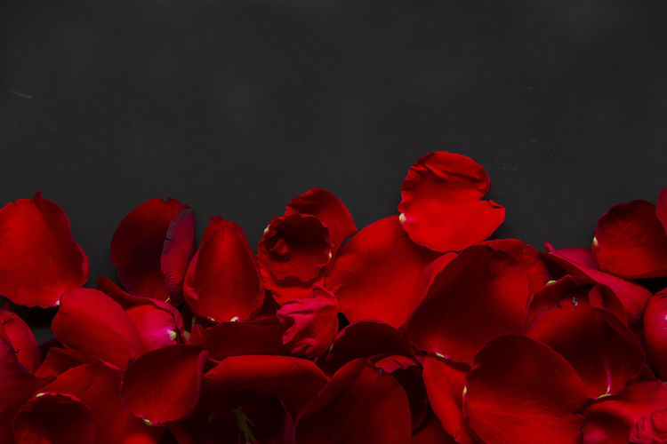 Beauty In Nature Black Background Blooming Close-up Day Flower Flower Head Fragility Freshness Growth Nature No People Outdoors Petal Red Rose - Flower Rose Petals Studio Shot