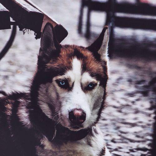 Portrait Of Husky Dog