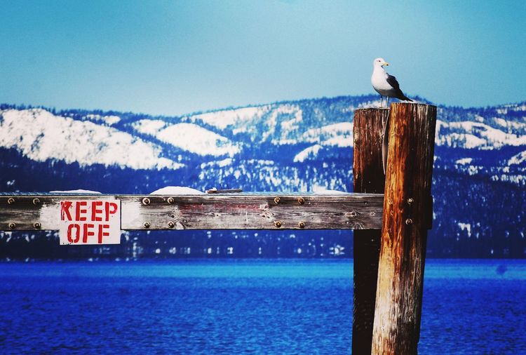 Naughty Seagull Mountains Mountain Lake California Tahoe Lake Lake Tahoe Heavenly EyeEm Selects Bird Water Animals In The Wild Animal Wildlife Day Sea Outdoors Animal Themes Perching One Animal Nature Sky EyeEm Ready   EyeEm Ready   Shades Of Winter