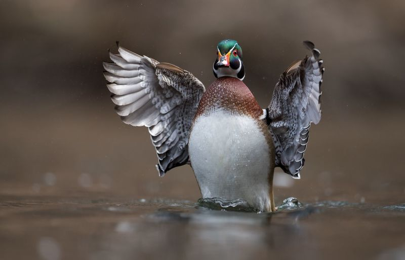 Wood duck Duck Wood Animal Animal Themes Animals In The Wild Bird Animal Wildlife Vertebrate One Animal Nature Focus On Foreground Day Motion Spread Wings Water Splashing Outdoors No People Penguin Duck Flying Animal Wing