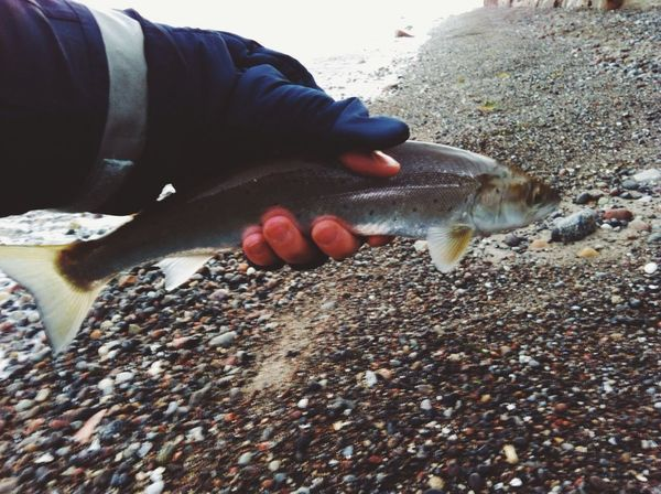 The sea trout Sea Trout Troutfishing Sea Fishing