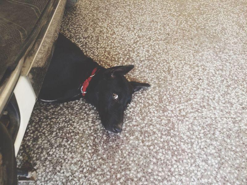 Pet Dog  Indian Dog Love ♥