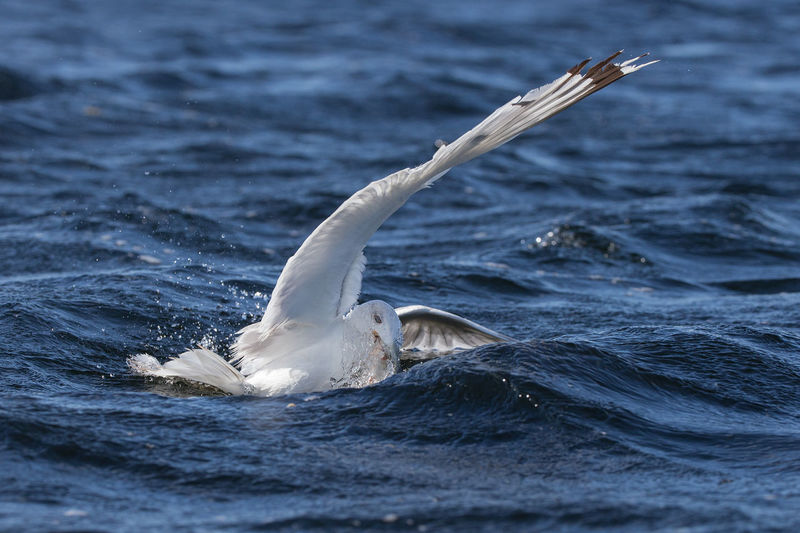 Close-up of seagull foraging in sea