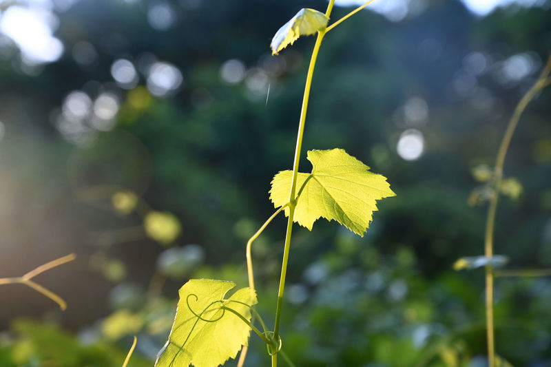 Leaves Change Autumn Sunlight Outdoors Fragility Vulnerability  Tranquility Plant Stem No People Green Color Nature Beauty In Nature Day Close-up Focus On Foreground Growth Yellow Plant Part Leaf Plant Morning Sunrise