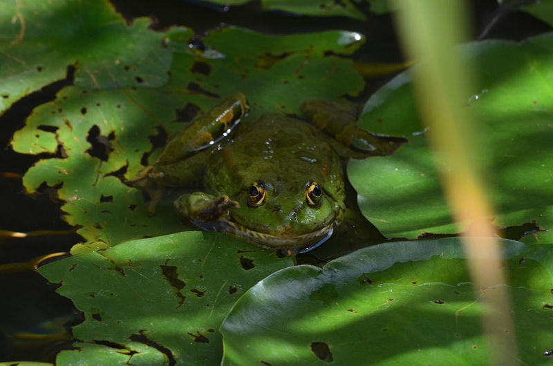 Close-up of green frog on leaves
