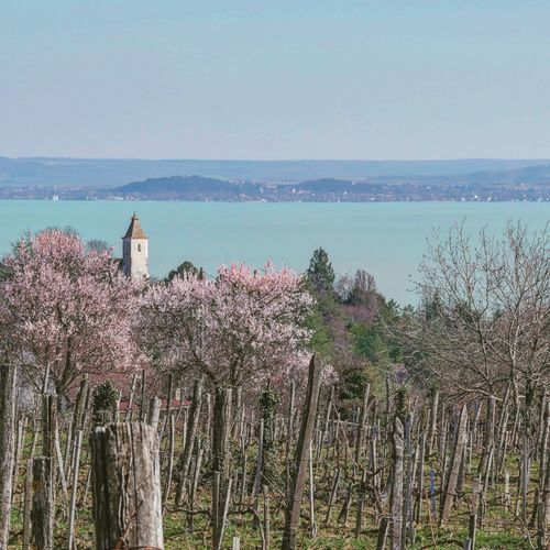 Vineyard Balaton Spring Lake Blooming