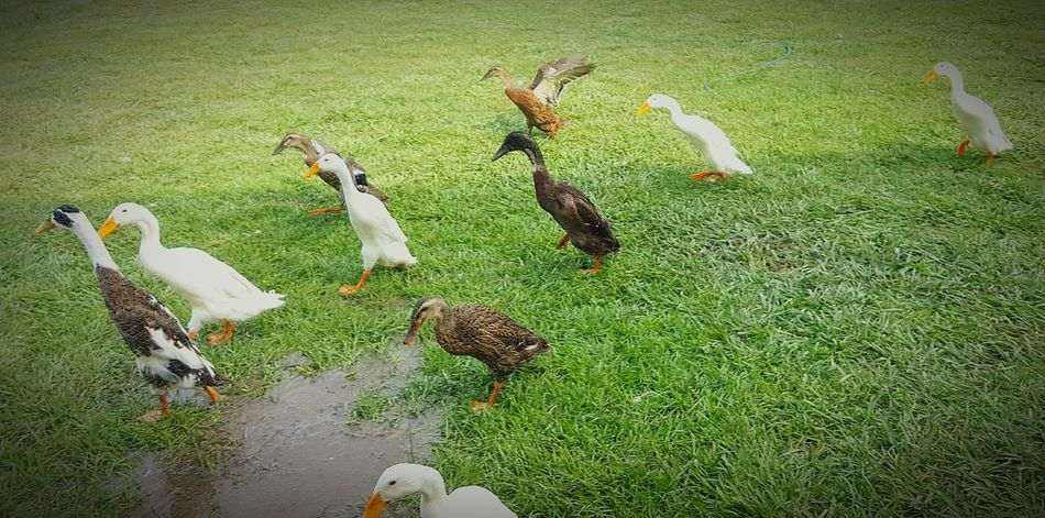 Indian Runners Ducks ❤ My Flock Run Run Run Running Around Enjoying Life Samsung Galaxy S6 Edge Cellphone Photography Ducks😄 Animal Photography Eyeem Animal Lover Animal Portrait Outdoor Photography Exersice....go..go...! Healthy Lifestyle Teenagers