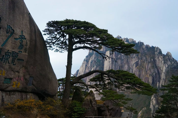 Trees Treescollection Huangshan Mount Huangshan Trees Collection