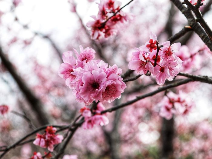 Close up with beautiful cherry blossoms bloom. Beautiful Flower, Natural Color, Flower Pink Color Blossom Cherry Blossom Fragility Beauty In Nature Springtime Orchard Day Freshness Cherry Tree Growth No People Petal Apple Blossom Botany Tree Branch Twig Nature