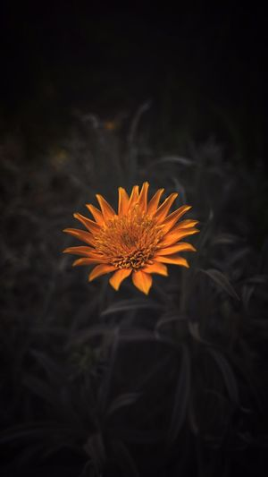 Close-up of flower blooming at night
